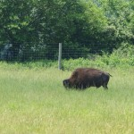 They have buffalo there too - most of the land is dedicated to the mammoths.