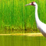 Whooping Crane in Water