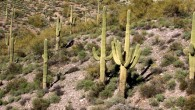 Saguaros of Arizona